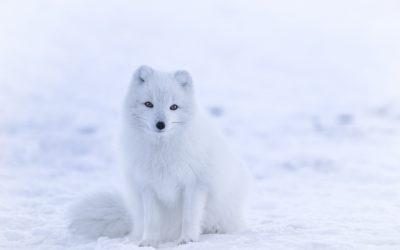 obrázok na pracovnej ploche - polárna líška